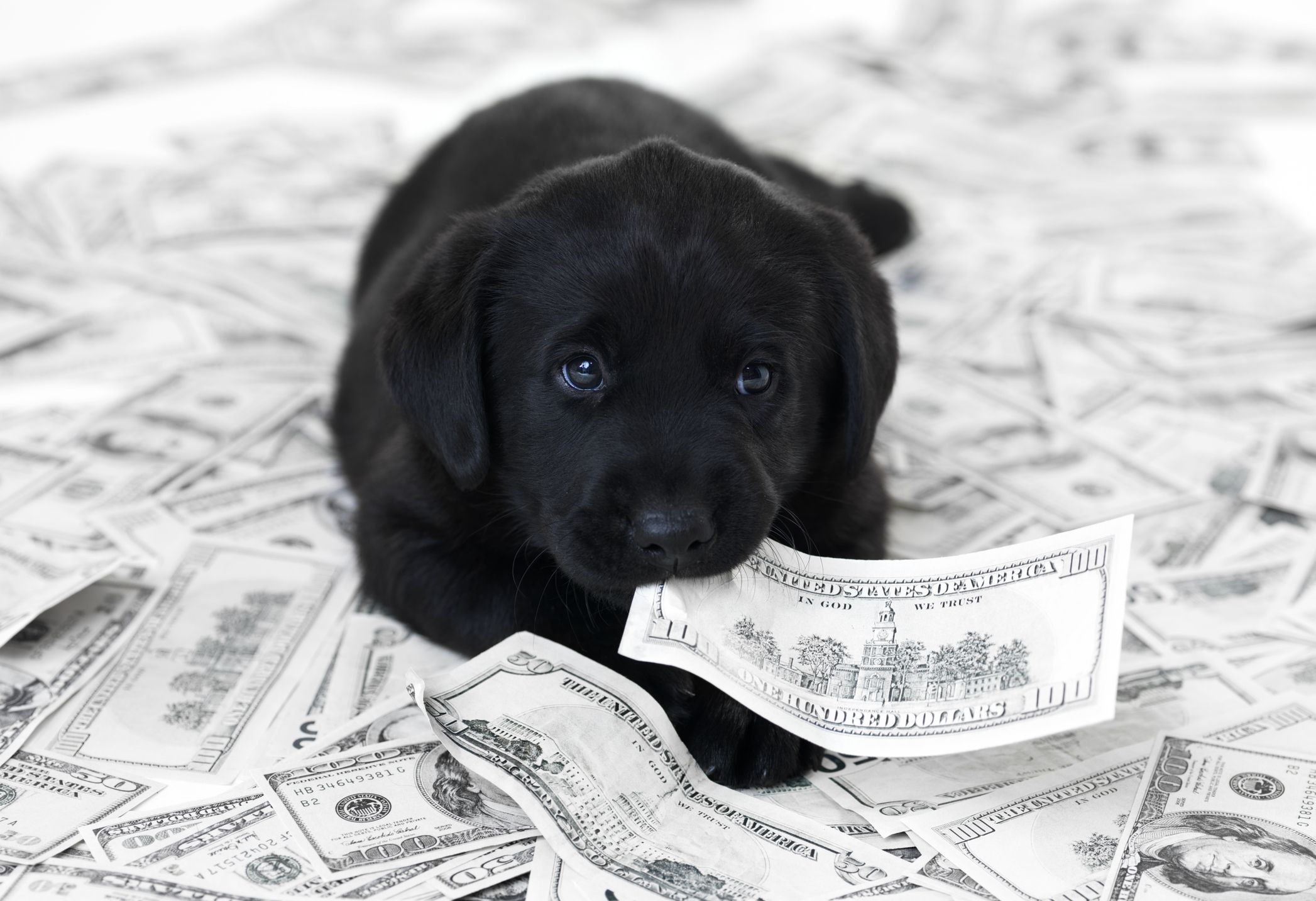 Dog laying on money and holding a bill in his teeth